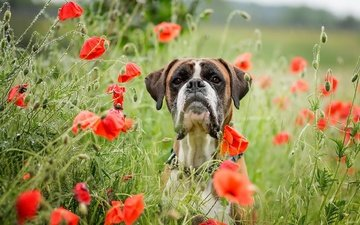 морда, цветы, лето, взгляд, собака, маки, боксер