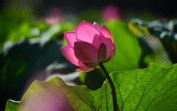 leaves, flower, petals, bud, lotus, pink