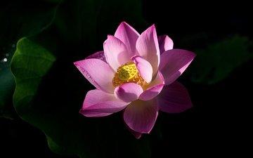 листья, цветок, лепестки, лотос, черный фон, розовый