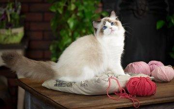 leaves, cat, table, sitting, blue eyes, pillow, balls, thread, yarn, ragdoll