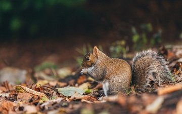 nature, leaves, autumn, protein, tail, squirrel, fluffy