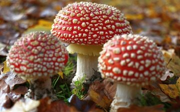 nature, forest, leaves, autumn, mushrooms, mushroom, amanita