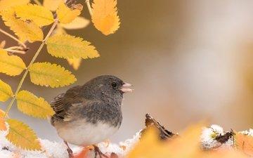 leaves, autumn, bird, beak, feathers, gray junco