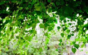 листья, ветки, листва, размытость, береза