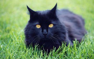 трава, природа, кот, кошка, черный, луг, домашнее животное