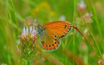 цветы, трава, клевер, макро, насекомое, бабочка, крылья