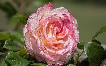листья, макро, цветок, роса, капли, роза, лепестки, бутон