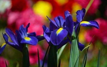 цветы, макро, фон, размытость, ирис, касатик