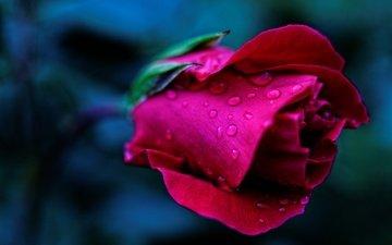 макро, фон, капли, роза, бутон