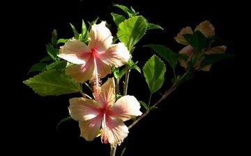 цветы, листья, макро, фон, лепестки, черный фон, гибискус