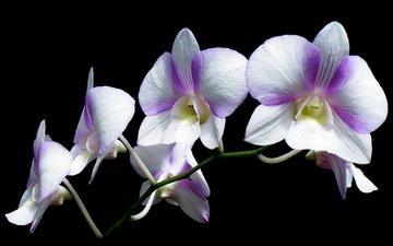 macro, background, petals, inflorescence