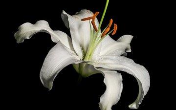 макро, фон, лепестки, тычинки, лилия, черный фон, белая