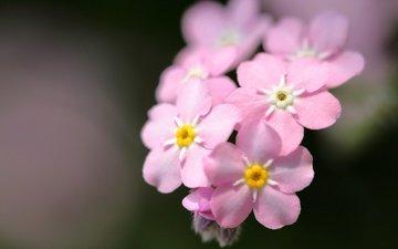 цветы, макро, фон, розовые, незабудки
