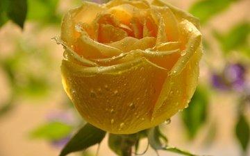 yellow, macro, flower, drops, rose, bud