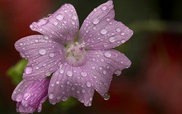 макро, цветок, капли, размытость, розовый цветок, мальва