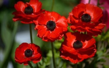 flowers, macro, petals, red, anemones, anemone