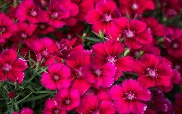 цветы, макро, лепестки, гвоздики