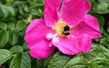 leaves, macro, insect, flower, summer, petals, briar, pollen, bumblebee