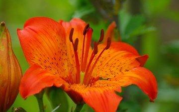 macro, flower, petals, stamens, blur, lily