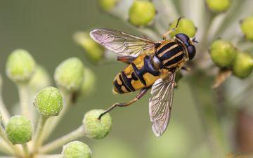 макро, насекомые, растение, муха, журчалка