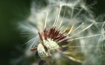 macro, dandelion, seeds, fluff, fuzzes, blade