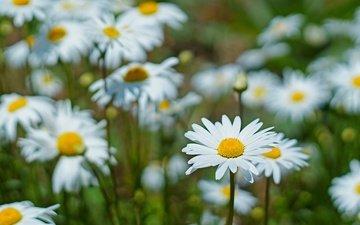 цветы, макро, лепестки, ромашки, белые, стебли, боке