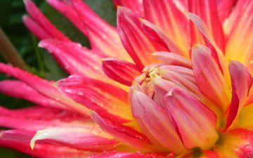 макро, цветок, капли, лепестки, георгин, крупным планом
