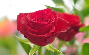 макро, цветок, роза, лепестки, бутон, красная роза