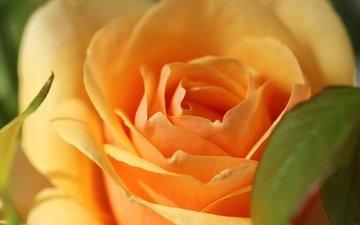 macro, flower, rose, petals, bud, yellow rose