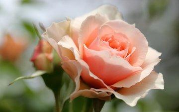 цветы, макро, роза, лепестки, бутон, боке