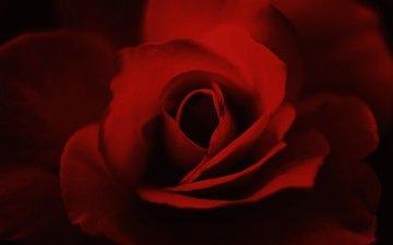 macro, flower, rose, petals, bud