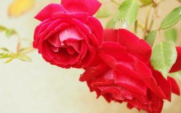 цветы, макро, розы, лепестки