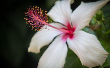 природа, макро, цветок, лепестки, белый, черный фон, гибискус