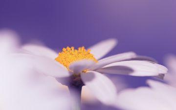 природа, цветок, лепестки, белый, ромашка, пыльца, крупным планом
