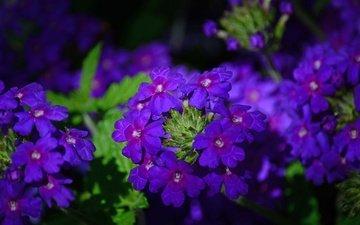 цветы, макро, лепестки, вербена, голубиная трава