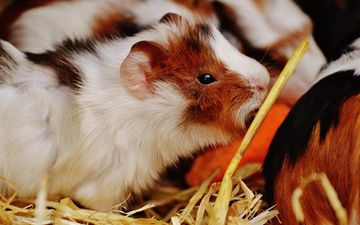 animal, fur, rodent, guinea pig