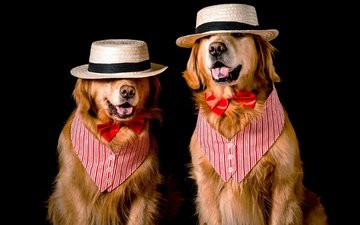 face, butterfly, dog, image, black background, pair, costume, outfit, two, language, hat, dogs, bow, photoshoot, vest, retriever, golden retriever, gentleman, bow tie