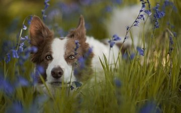 face, flowers, grass, look, dog, bells, the border collie