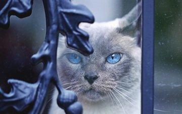 морда, кот, мордочка, усы, кошка, взгляд, завитки, стекло, голубые глаза, декор