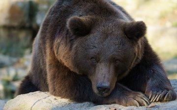 морда, лапы, взгляд, медведь, лежит, когти, зоопарк, бурый медведь