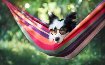 face, glasses, dog, hammock, bokeh, the border collie