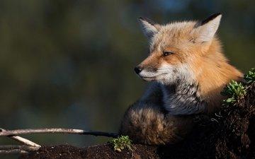 морда, природа, фон, лежит, лиса, лисица