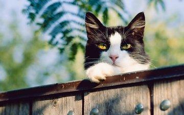 морда, природа, листья, фон, кот, мордочка, усы, кошка, взгляд, забор, доски, желтые глаза
