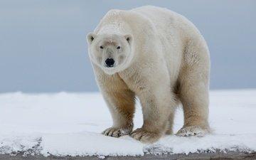 морда, снег, природа, полярный медведь, взгляд, медведь, белый медведь, арктика