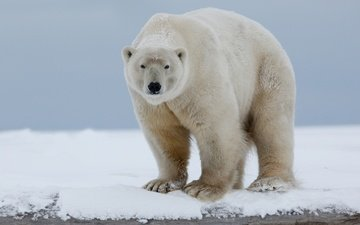 face, snow, nature, polar bear, look, bear, arctic