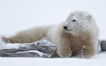 face, snow, nature, pose, paws, polar bear, look, lies, snag, log, bear, arctic