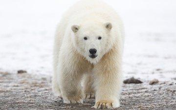 морда, снег, природа, зима, лапы, полярный медведь, взгляд, медведь, белый медведь, арктика