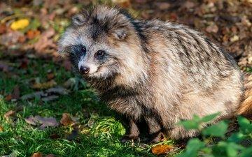 морда, трава, листва, осень, животное, енот, енотовидная собака