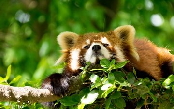 face, branch, nature, tree, background, foliage, animal, red panda, sunny