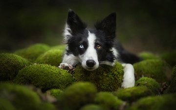 face, look, dog, moss, the border collie
